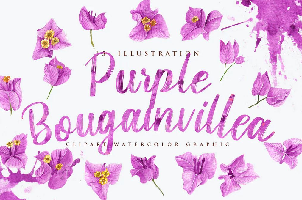 15 Watercolor Purple Bougainvillea Illustration